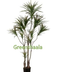 Red Edged Dracaena